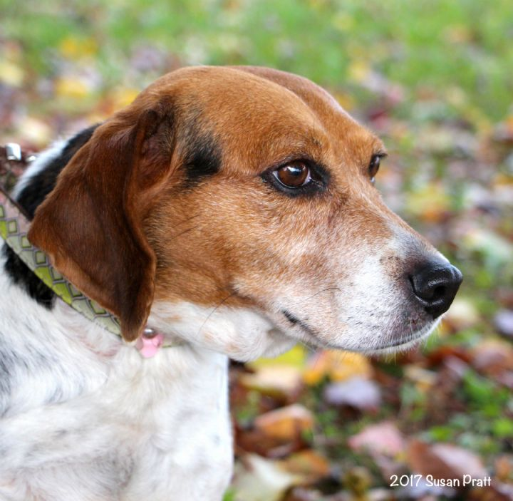 Roxie, an adopted Beagle in Bedford, VA