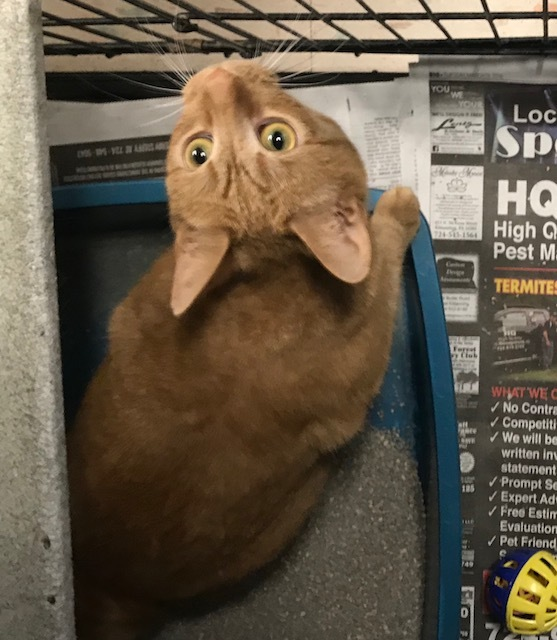 Michelle, an adoptable Domestic Short Hair in Kittanning, PA