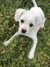Spaniel Dog: Lil Beau 10wks