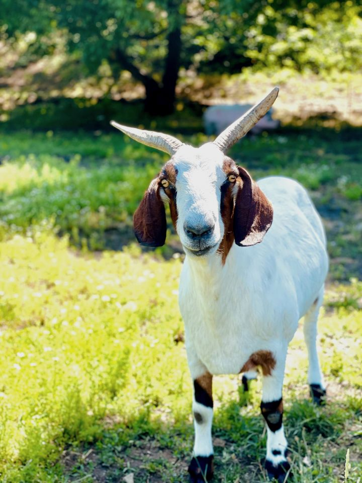 Blinkin, an adopted Boer in Jacksonville, OR