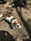 Beagle Dog: Scooter