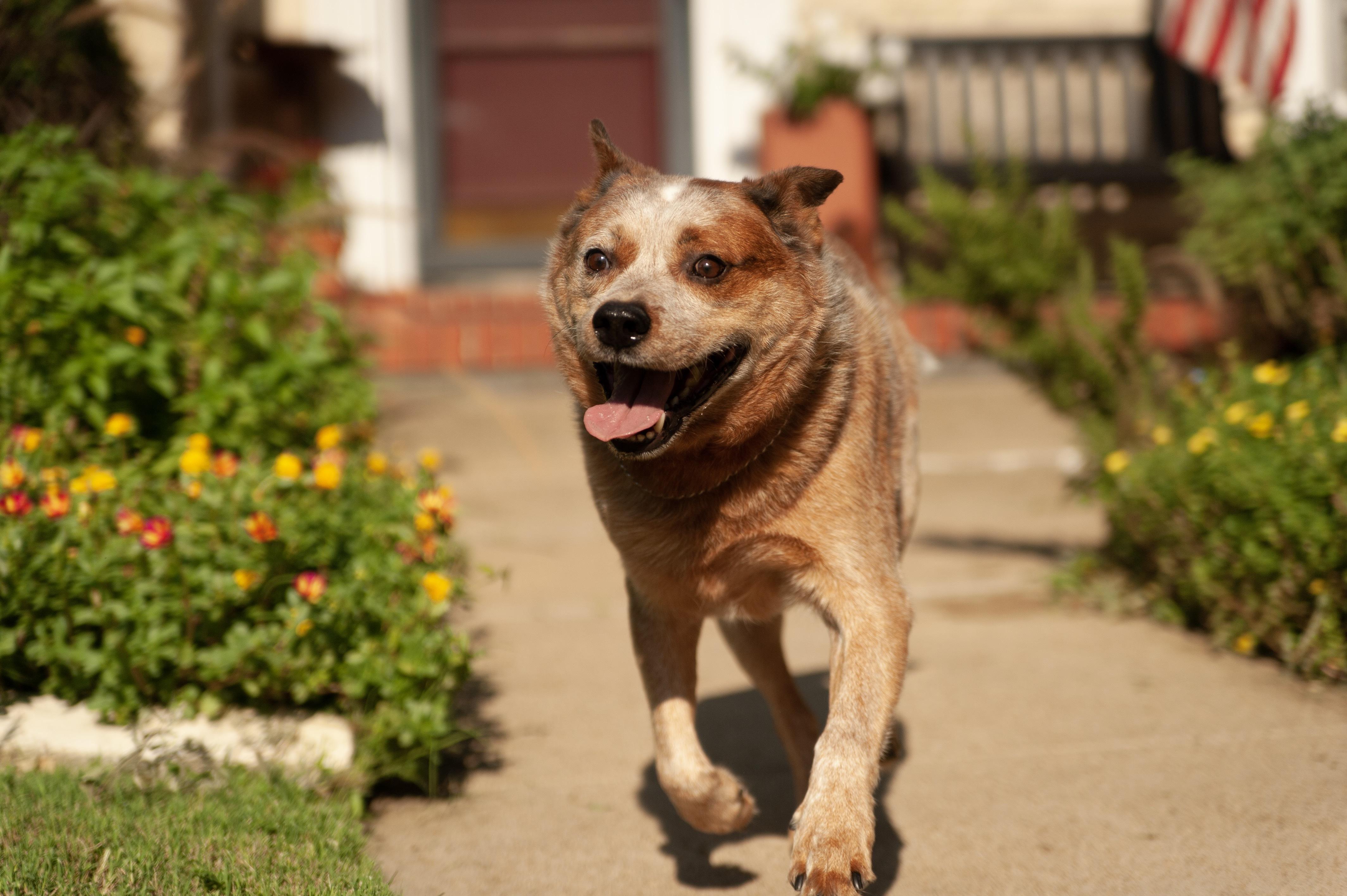 Dog for Adoption – z Rusty near Fort Worth TX