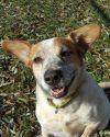 Australian Cattle Dog / Blue Heeler Dog: Reuben