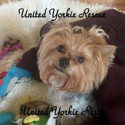 Dog for adoption - Brandy, a Yorkshire Terrier in Lake