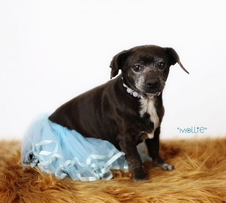 Dog For Adoption Mollie A Dachshund Chihuahua Mix In Lubbock
