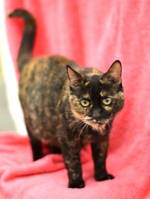 Sophie Tortoiseshell Cat