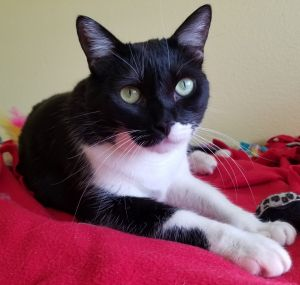 Little Nadia is a beautiful young tuxedo female kitten just under one year old