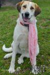 Anatolian Shepherd Dog: Kali