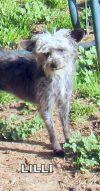 Chinese Crested Dog Dog: Lilli