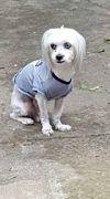 Maltese Dog: Francis