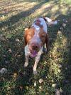 Brittany Spaniel Dog: TN/Arlo (as Pair)