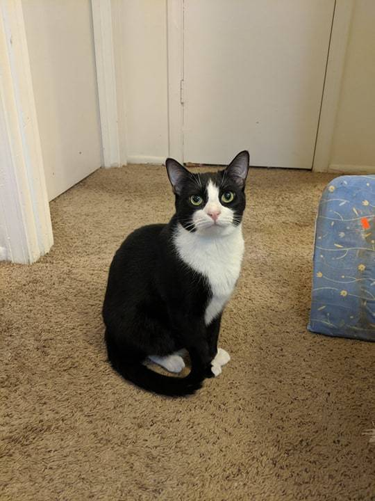 Cat for adoption - Alec, a Domestic Short Hair in Greenville