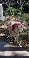 American Eskimo Dog Dog: Foxy of Venice, FL