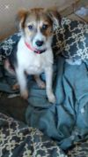 Australian Shepherd Dog: Lovable Lassie