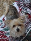 Yorkshire Terrier Yorkie Dog: Lilly