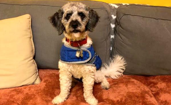 Dog for adoption - Pippa, a Bichon Frise in Arlington, VA