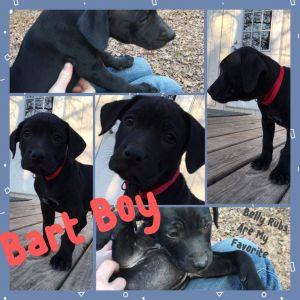 Bart Labrador Retriever Dog