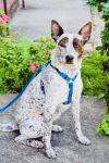 German Shorthaired Pointer Dog: Maddie