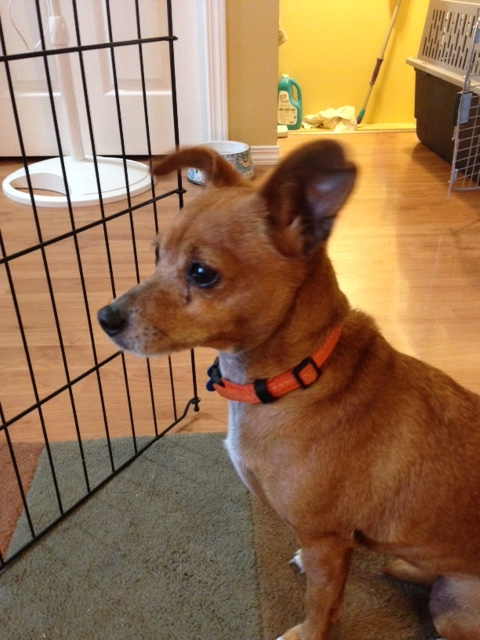 Moana, an adopted Chihuahua Mix in Calgary, AB