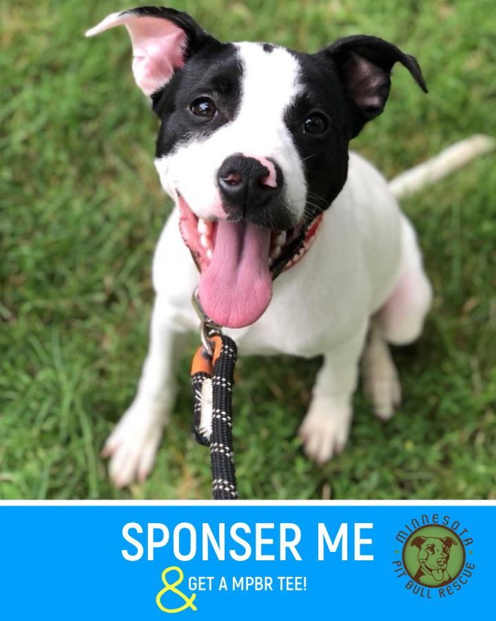 Boba Fett, an adopted American Staffordshire Terrier & Pit Bull Terrier Mix in Saint Paul, MN