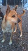 Shiba Inu Dog: Ozzy