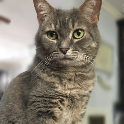 Belleni, an adoptable Domestic Short Hair in Falls Church, VA