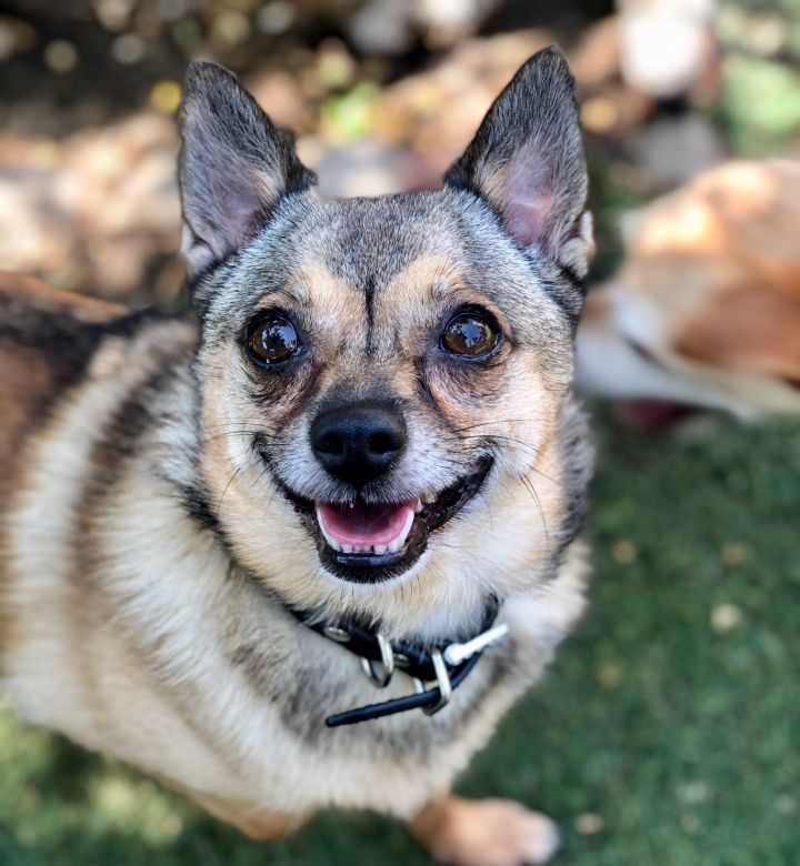 Appaloosa, an adoptable Shiba Inu & Chihuahua Mix in Beverly Hills, CA