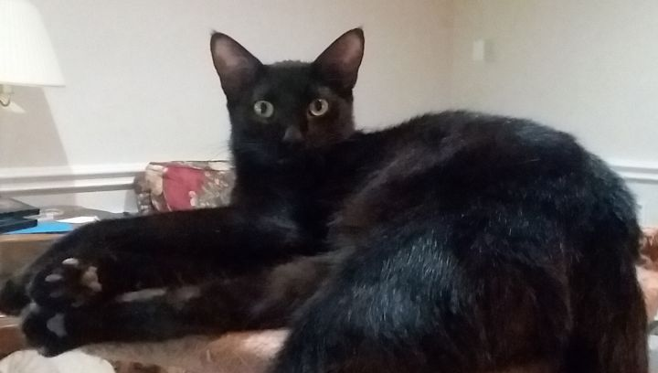 Bodhi, an adoptable Domestic Short Hair in Carrollton, TX