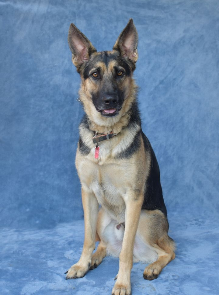 Dog for adoption - Charlie, a German Shepherd Dog in Monroe, NC
