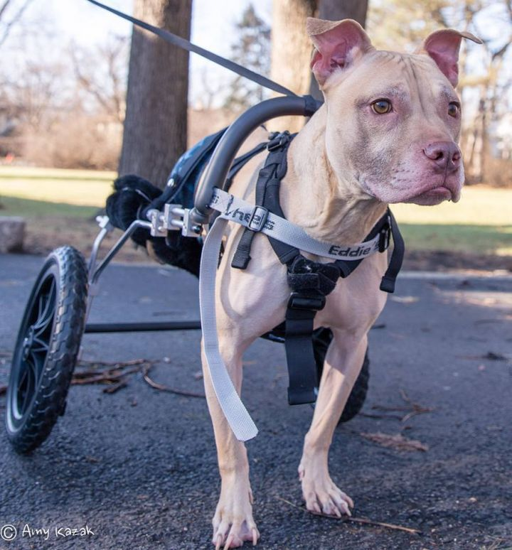 Dog for adoption - Bruno **$50 ADOPTION FEE**, a Pit Bull