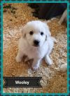 Great Pyrenees Dog: Wooley