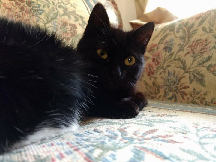 Sabrina, an adopted Domestic Short Hair Mix in Fredericksburg, VA