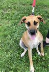 Labrador Retriever Dog: Bridgette
