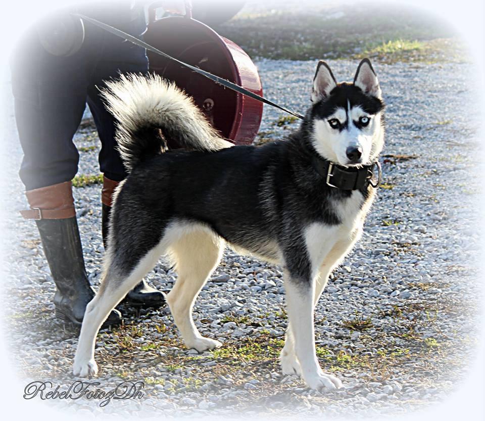 Dog for Adoption – Suka, near Quincy, IN | Petfinder | Siberian Husky Puppies En Puerto Rico