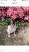 Brittany Spaniel Dog: Molly