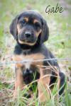 Bullmastiff Dog: Gabe
