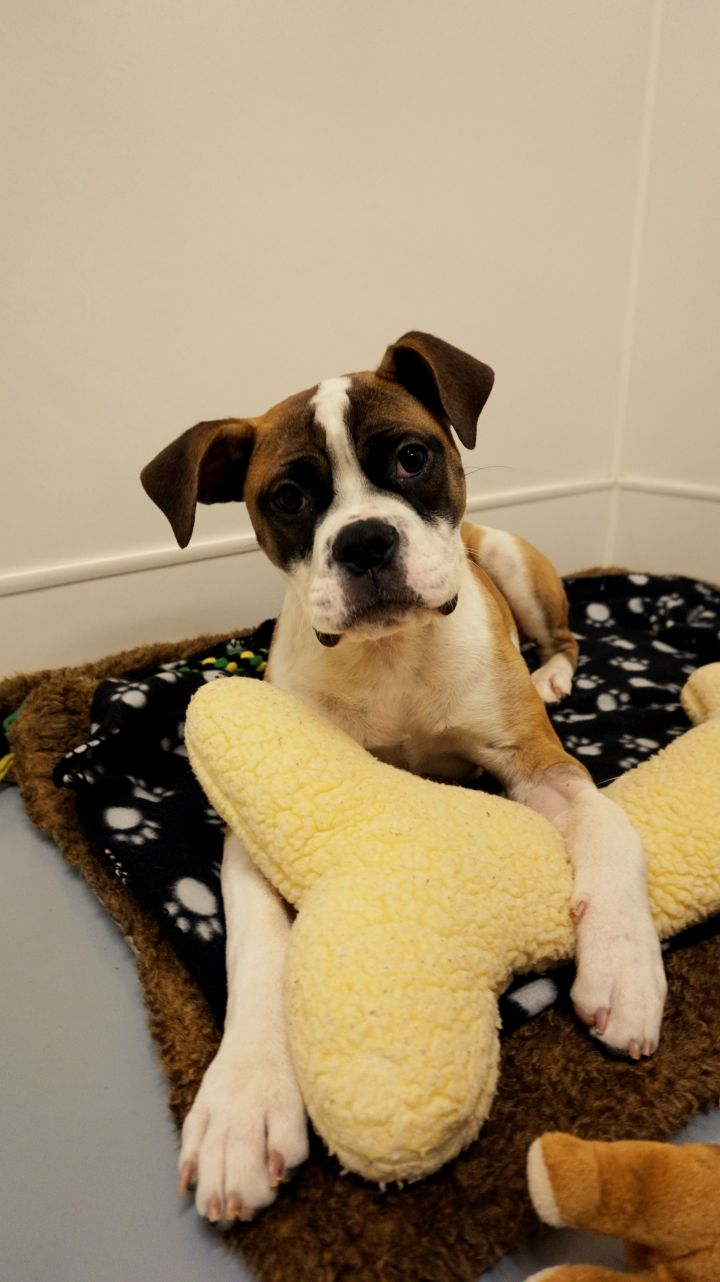 Tesla, an adopted Boxer Mix in Seattle, WA