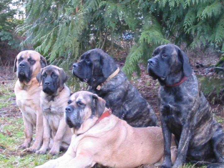 Dog for adoption - MEET MORE MASTIFFS!, a Mastiff in Chicago