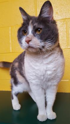 Dorothy, an adoptable Domestic Short Hair Mix in Williamsport, PA