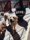 Yellow Labrador Retriever Dog: Moose