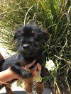 Welsh Terrier Dog: Sputnik