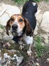 Foxhound Dog: Barney