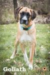 Saint Bernard / St. Bernard Dog: Goliath