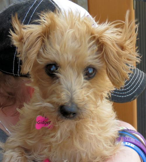 Dog For Adoption Gidget A Maltese Poodle Mix In Oklahoma City