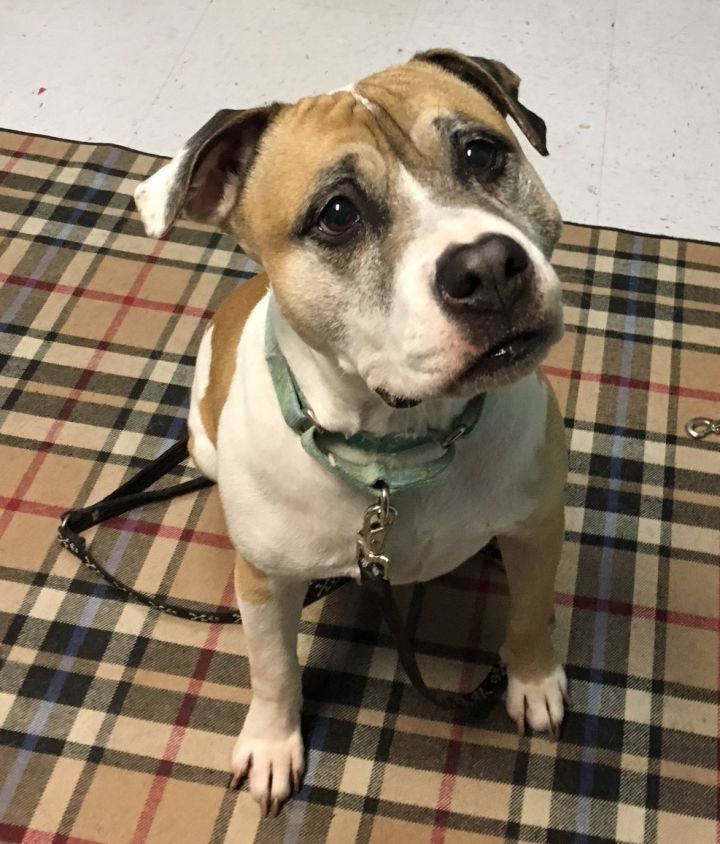 Mabel, an adopted Pit Bull Terrier & Beagle Mix in Manchester, CT