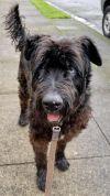 Bouvier des Flanders Dog: Barnaby