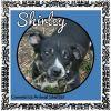 Affenpinscher Dog: Shirley