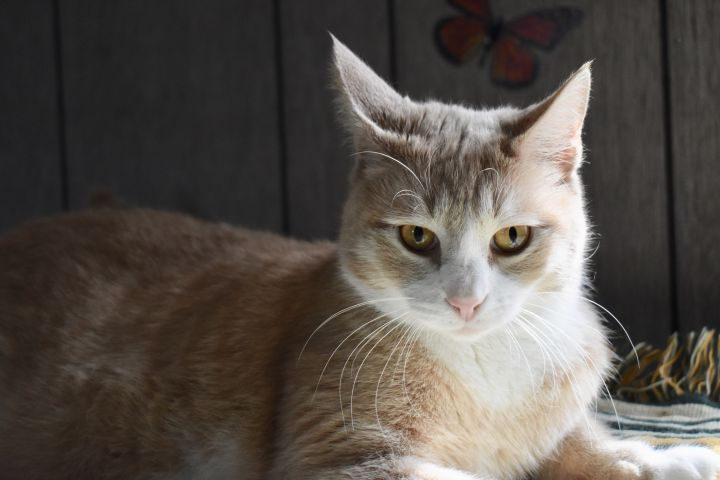 Eliot Peaches, an adoptable Domestic Short Hair in Burlingham, NY