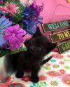 American Shorthair Cat: Zinc