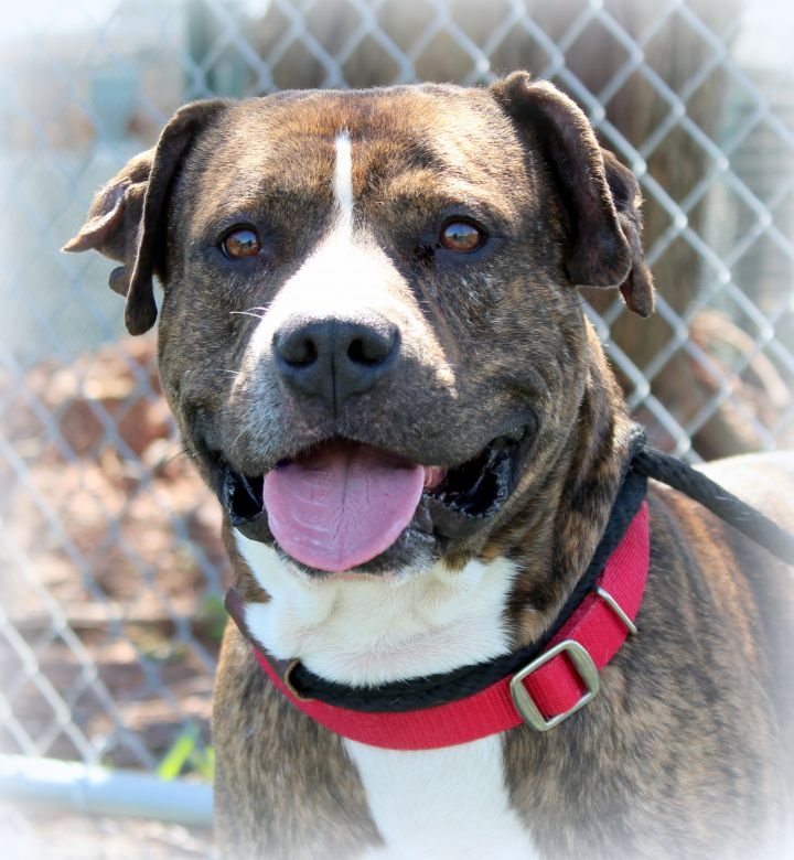 Stripes (Sweet Gentleman, Good with Kids), an adopted Pit Bull Terrier & Hound Mix in Jersey City, NJ